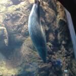 thekumachan_Aquarium_Osaka_Japan-18