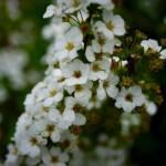 thekumachan_japan_flowers05