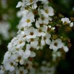 thekumachan_japan_flowers06