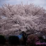 thekumachan_japan_flowers4