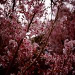 thekumachan_japan_flowers8
