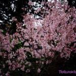 thekumachan_japan_flowers9