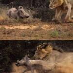 wrong_lion