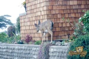 thekumachan_deer_Monterey_California-1