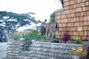 thekumachan_deer_Monterey_California-3
