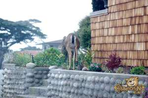 thekumachan_deer_Monterey_California-4