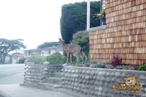 thekumachan_deer_Monterey_California-7