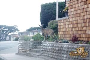 thekumachan_deer_Monterey_California-8