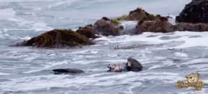 thekumachan_sea_otters_Monterey_California-1