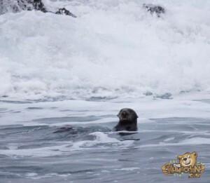 thekumachan_sea_otters_Monterey_California-2