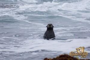 thekumachan_sea_otters_Monterey_California-3