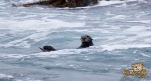 thekumachan_sea_otters_Monterey_California-4