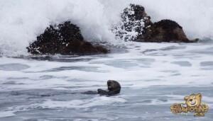 thekumachan_sea_otters_Monterey_California-5