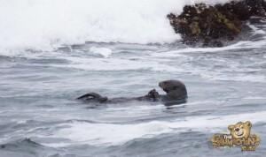 thekumachan_sea_otters_Monterey_California-6