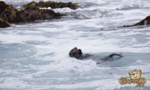 thekumachan_sea_otters_Monterey_California-7