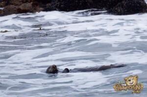 thekumachan_sea_otters_Monterey_California-8