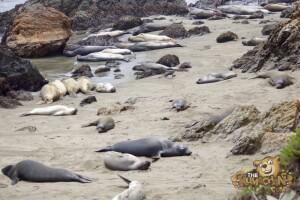 thekumachan_Elephant_Seals_California-02