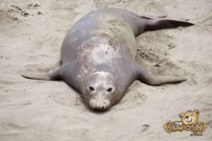thekumachan_Elephant_Seals_California-03