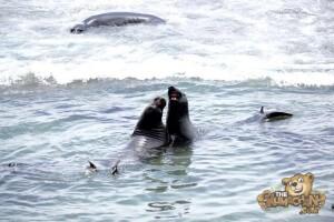 thekumachan_Elephant_Seals_California-04