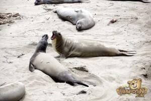 thekumachan_Elephant_Seals_California-05