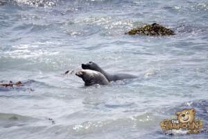 thekumachan_Elephant_Seals_California-06