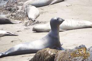 thekumachan_Elephant_Seals_California-07