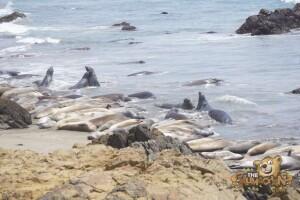 thekumachan_Elephant_Seals_California-08