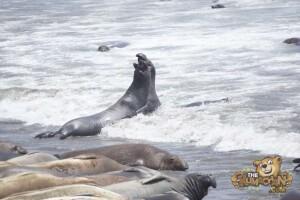 thekumachan_Elephant_Seals_California-09