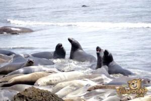thekumachan_Elephant_Seals_California-10