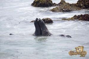 thekumachan_Elephant_Seals_California-12