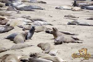 thekumachan_Elephant_Seals_California-13