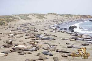 thekumachan_Elephant_Seals_California-14
