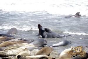 thekumachan_Elephant_Seals_California-15