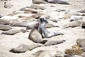thekumachan_Elephant_Seals_California-16