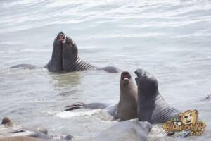 thekumachan_Elephant_Seals_California-17