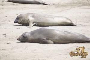 thekumachan_Elephant_Seals_California-18