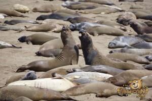 thekumachan_Elephant_Seals_California-20