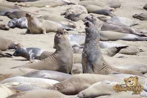 thekumachan_Elephant_Seals_California-21