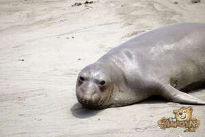 thekumachan_Elephant_Seals_California-26