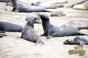 thekumachan_Elephant_Seals_California-27