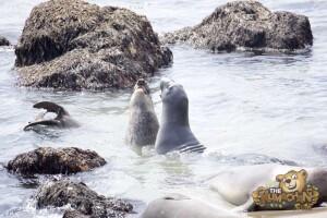 thekumachan_Elephant_Seals_California-28