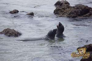 thekumachan_Elephant_Seals_California-29