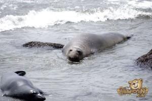 thekumachan_Elephant_Seals_California-30