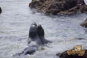 thekumachan_Elephant_Seals_California-31