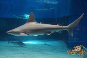 thekumachan_Shark_Week_2016-6