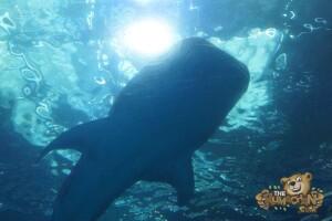 thekumachan_Shark_Week_2016-7