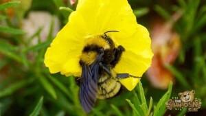 thekumachan_LaJolla_Bee-3