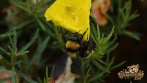 thekumachan_LaJolla_Bee-4