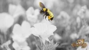 thekumachan_LaJolla_Bee_black_white-1