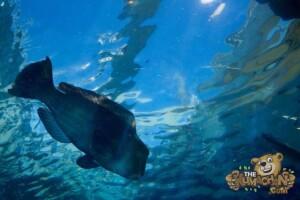 thekumachan_okinawa_aquarium-20